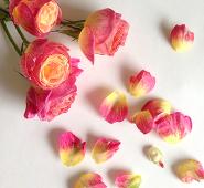 春の濃いピンク色のバラの写真