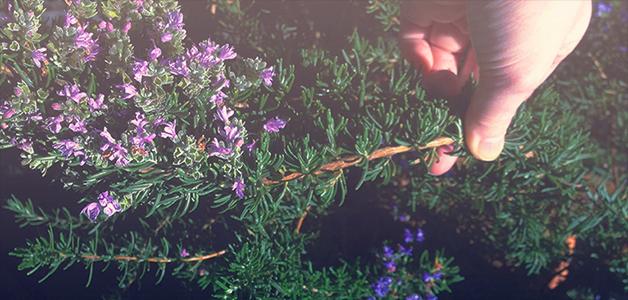 ローズマリーの写真