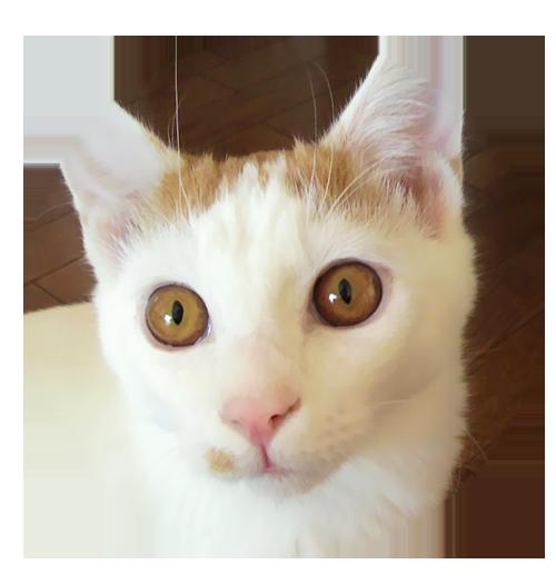 琥珀色の瞳のチャオ